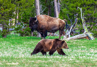A bear and a bison in Yellowstone National Park